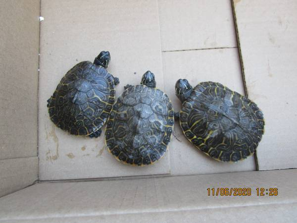 Photo Adult Female River Cooter Turtle(-4quot) - $50 (yorba linda)
