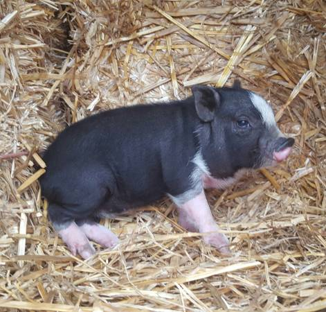Photo Miniature Black and White Piglets (Norco)