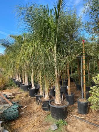 Photo Queen Palms 25 gal - $120 (Perris)