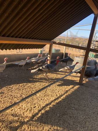 Photo Young Heritage turkeys - $95 (Colton)