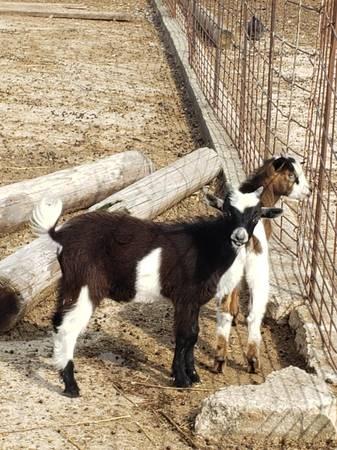 Photo Goats - $125 (Central City, IA)