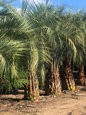 Photo Jelly Palms $200 Easy to grow, Cold Hardy, Plant Now - $200 (Madison Florida)