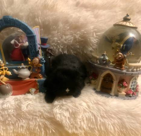 Photo Meet Chip Our Baby Holland Lop from our Beauty  the Beast Litter (Wall Township)