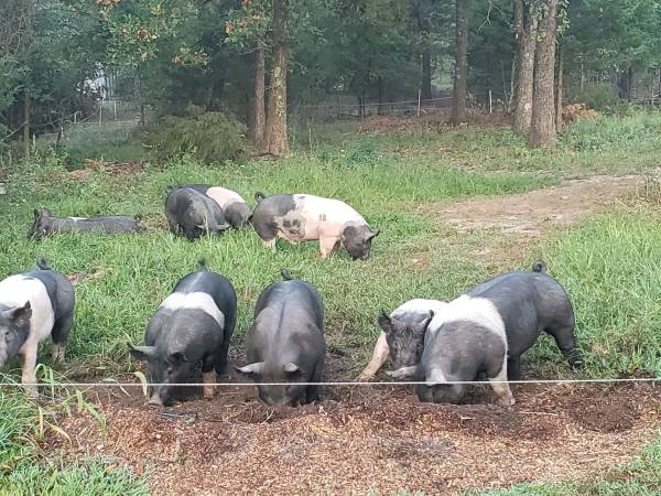 Photo Pastured pigs from our farm to your freezer - $180 (Exeter)