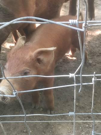 Photo Red Wattle Hog Pig Piglet - $100 (Harrogate TN)