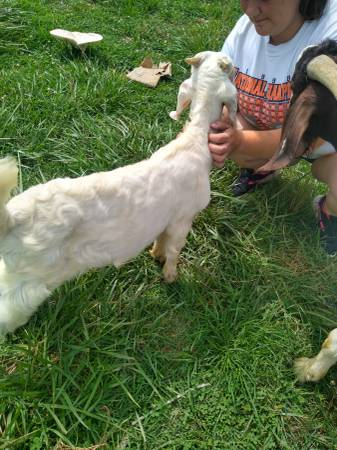 Photo Young Billy goat - $130 (Mooresburg)