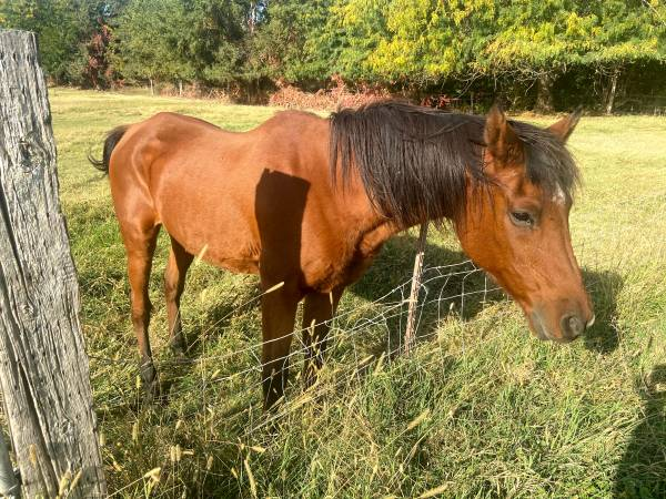 Photo Arabian Horse - Free to Good Home (West Richland)