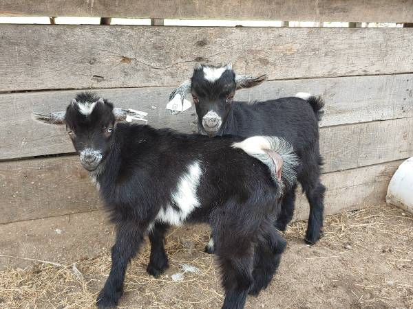 Photo Weaned baby boy goats. 1 has blue eyes 4 to choose from - $125 (Jasper FL)