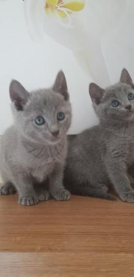 Home Raised Russian Blue Kittens For Adoption Free Stuff Lancaster Pa Shoppok