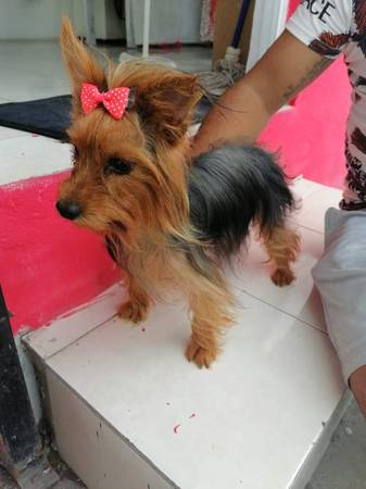 Photo Female yorkie 1 Years old Rehomming - $800 (Laredo)