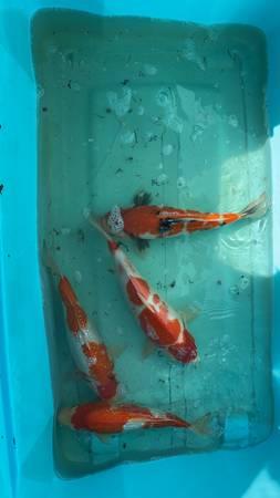 Photo Koi , aquarium - $100 (Laredo)