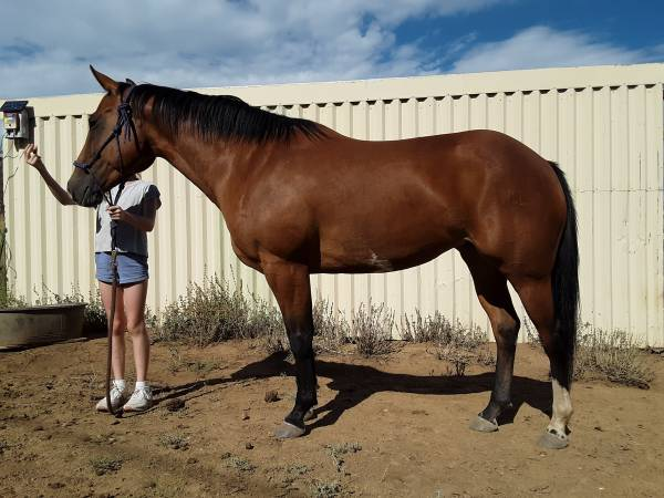 Photo Really Nice 7 Yr Old Mare for Sale - $2,500 (Silver City)
