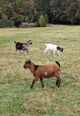 Photo Adorable mini dairy pet wether goats - $125 (Ward)