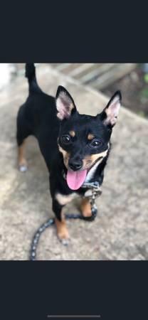 Photo Female short haired Yorkie X Chihuahua Mix - $250 (Memphis)