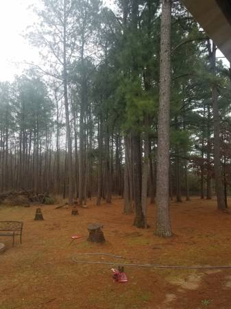 Photo Pine trees for free (Redfield)