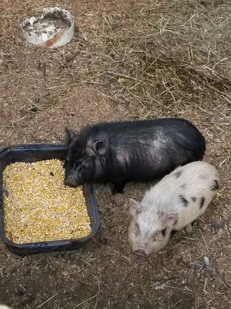 Photo Mini micro pigs - $500 (Riverhead)