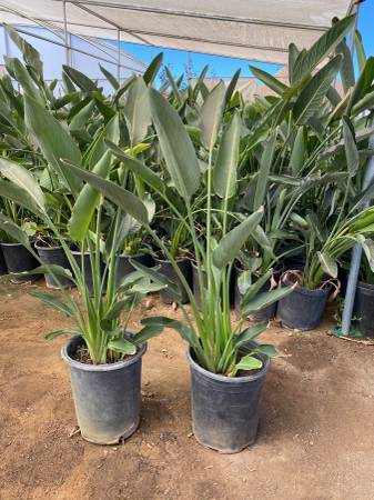 Photo Birds of paradise for sale - $10 (Perris)