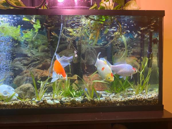 Photo Free to good home. 3 large fish, as many guppies as you want (Loudonville)