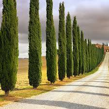Photo Italian cypress trees 956AREA7557190 - $20 (EDCOUCH)