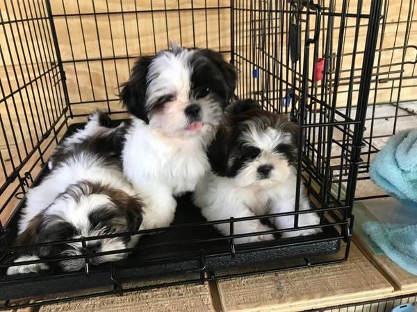 Shih Tzu Puppies 350 Edinburg Tx