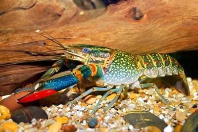 Live Australian red claw crayfish, Freshwater Lobster For ...