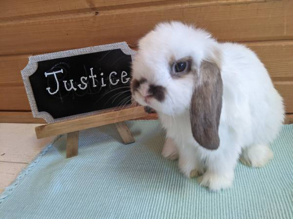 Photo Holland Lop RabbitsBunnies For New Homes - $75 (Palmyra)