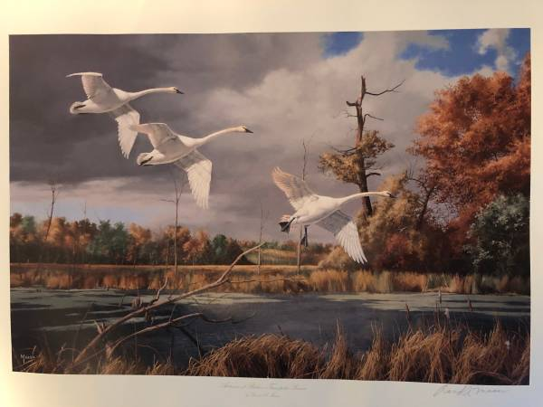 Photo David Maass - quotAutumn at Baker - Trumpeter Swansquot - $25 (Excelsior)