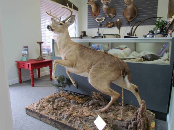Photo Full Body Whitetail Deer Taxidermy Mount - $1200 (Gulf Shores, AL)