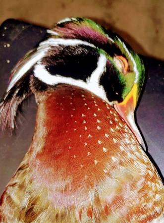 Photo Wood Duck - $12,345 (Hallsville)