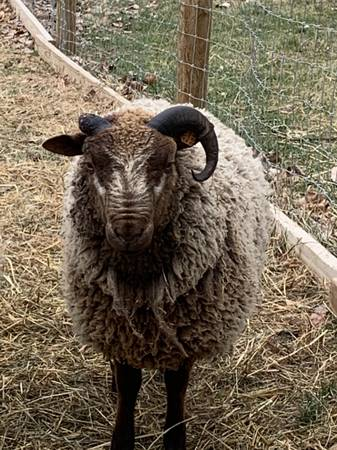 Photo Registered Shetland Ram - $150 (West Branch)