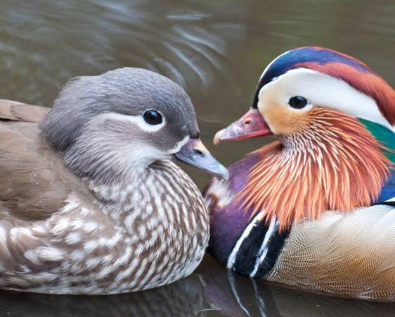 Photo wild waterfowl - $250 (carriere ms)