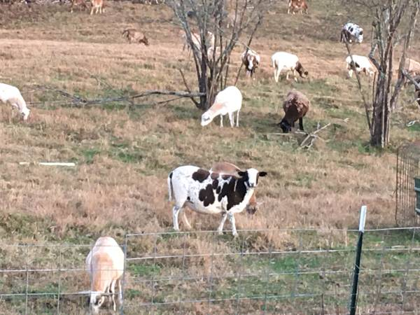 Photo Heavy Bred Hair Sheep Ewes Rams and Lambs - $1 (Copperhill Tn)
