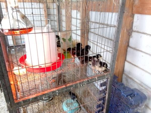 Photo Cuckoo Marans and Americana Pullets - $5 (Citrus Hills Inverness)