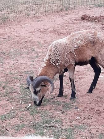Photo Painted desert sheep-breeding pair