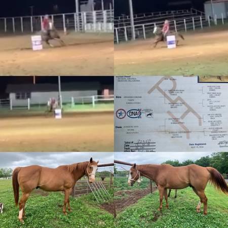 Photo Started barrel horse. Million dollar sire - $15,000 (Shawnee Oklahoma)