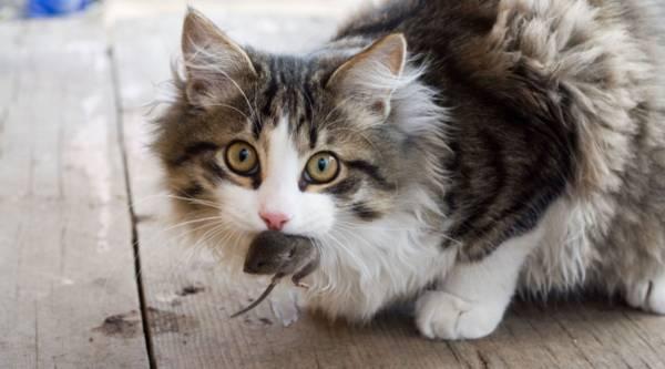 Photo I need a quotbarnquot cat - $50 (Port Angeles)