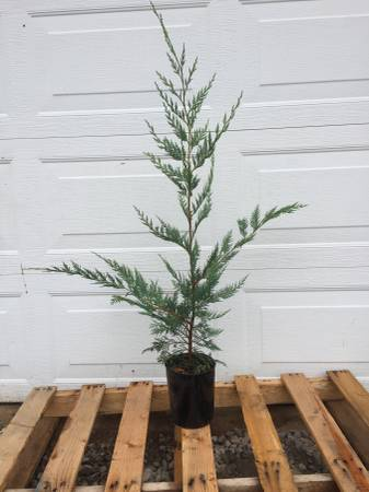 Photo Leyland Cypress, Arborvitae, cedar - $10 (Troutdale)