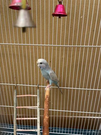 Photo Beautiful blue and gray parakeet with cage for free to a good home. (Irvine)