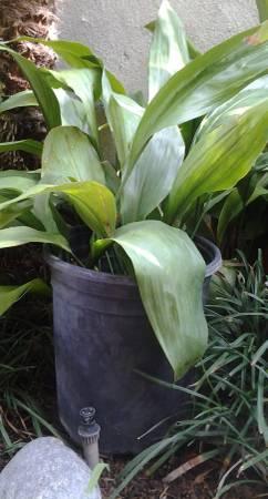 Photo CAST IRON (ASPIDISTRA ELATIOR) INDOOR OUT DOOR PLANTS (YORBA LINDA)