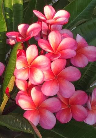 Photo PLUMERIA Rainbow, White, Red Rooted in pot - $20 (WESTMINSTER)