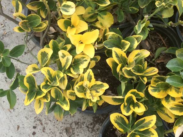 Photo Sale on plants Golden Eunymous large and full 1 gallons - $4 (Moreno Valley)