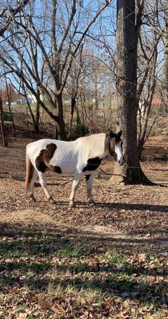 Photo Tennessee Walker Quarter horse Haflinger Cross - $1,000 (Sacramento)