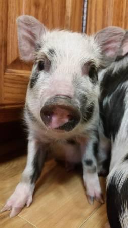 Photo Mini potbelly pigs - $150 (Bonifay)