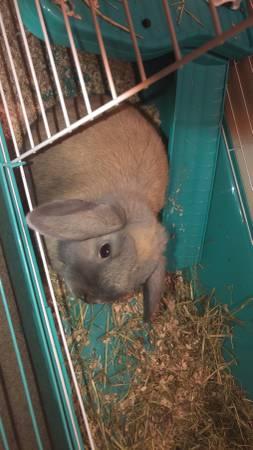 Photo Mini lop Rabbit (South point)