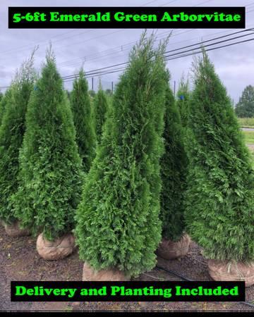 Photo Emerald Green Arbs Planted - $120 (Doylestown)