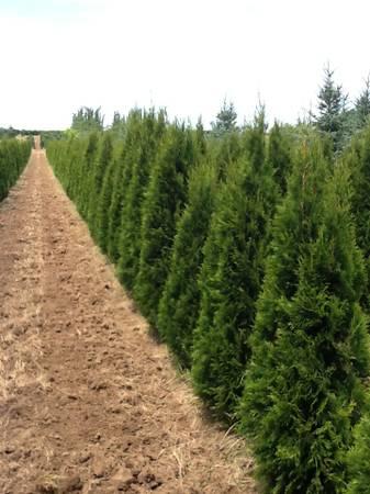 Photo Trees Excelsa, G. Giant, Emerald Green arborvitae, Cypress, Laurel - $40 (Boring)