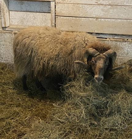 Photo Icelandic Ram - $150 (Potsdam)