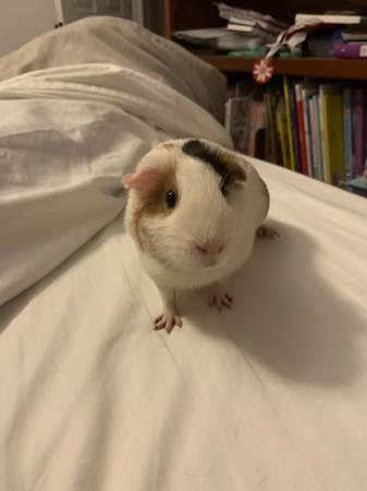 Photo Adult female Guinea pig - $40 (Salem)