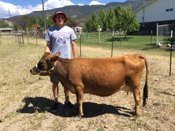 Miniature Jersey Cattle, Mini / Midsize Cows - $2900 (Manti ...
