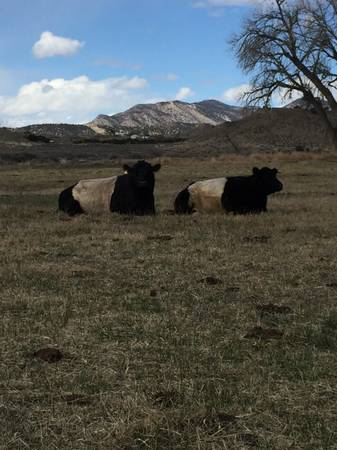 Photo Beef - Half or Whole Cow - Belted Galloway - $1 (Canon City)
